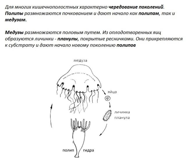 Разнообразие кишечнополостных - Студенческий портал