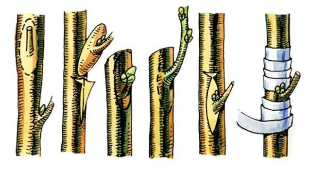 Способы вегетативного размножения растений в природе - Студенческий портал