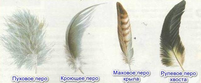 Класс Птицы. Общая характеристика класса - Студенческий портал