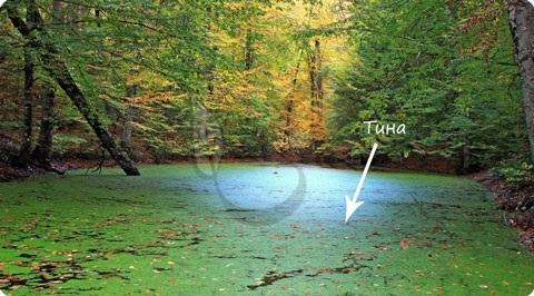 Краткая характеристика некоторых представителей зеленых водорослей - Студенческий портал