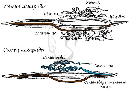 Разнообразие круглых червей - Студенческий портал